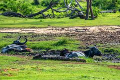 Азиатские индийский буйвол или bubbalis Bubbalus Стоковые Фото