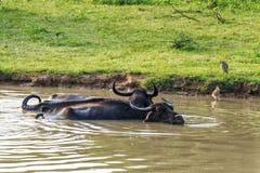Азиатские индийский буйвол или bubbalis Bubbalus Стоковые Фотографии RF