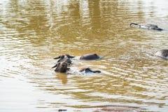 Азиатские индийский буйвол или bubbalis Bubbalus в воде Стоковое Изображение RF