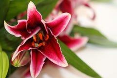 азиатские лилии Стоковое Фото