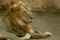 азиатские львы стоковое фото rf