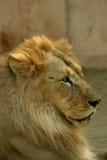 азиатские львы стоковые изображения rf