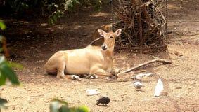 Азиатские одичалые олени стоковое фото