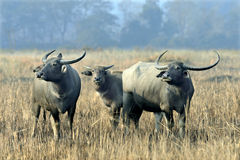 Азиатские одичалые индийские буйволы стоя на земле травы Стоковая Фотография RF