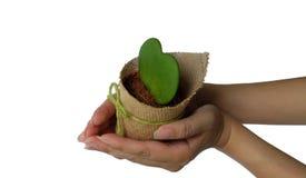Азиатские руки женщины держа сердце как цветочный горшок кактуса украшенный с мешком Брайна и зеленым смычком Стоковые Изображения RF