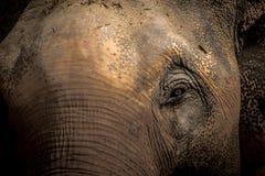 Азиатские слоны закрывают вверх Стоковое Изображение RF