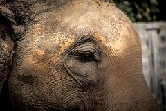 Азиатские слоны закрывают вверх Стоковая Фотография