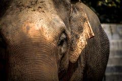 Азиатские слоны закрывают вверх Стоковые Изображения RF