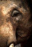 Азиатские слоны закрывают вверх Стоковое Фото