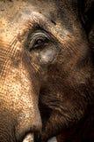 Азиатские слоны закрывают вверх Стоковая Фотография RF