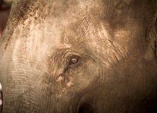 Азиатские слоны закрывают вверх Стоковые Фотографии RF