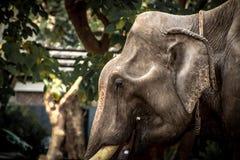 Азиатские слоны закрывают вверх Стоковое фото RF