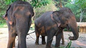 азиатские слоны 4K 2 едят бамбук в лагере тропического леса акции видеоматериалы