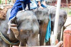 Азиатские слоны на тайском центре консервации слона Стоковые Фотографии RF
