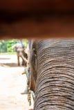 Азиатские слоны на тайском центре консервации слона Стоковое Фото