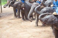 Азиатские слоны на тайском центре консервации слона Стоковые Изображения
