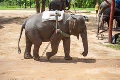 Азиатские слоны на тайском центре консервации слона Стоковые Фото