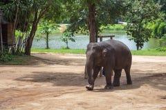 Азиатские слоны на тайском центре консервации слона Стоковое Изображение