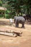 Азиатские слоны на тайском центре консервации слона Стоковая Фотография