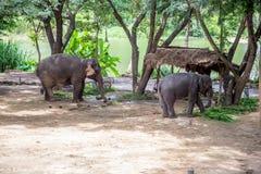 Азиатские слоны на тайском центре консервации слона Стоковое Изображение RF