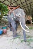 Азиатские слоны на тайском центре консервации слона Стоковое фото RF