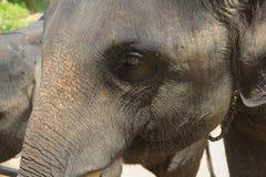азиатские слоны Центр консервации слона Chang Таиланда в t Стоковая Фотография