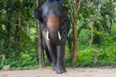 азиатские слоны Центр консервации слона Chang Таиланда в t Стоковые Фото