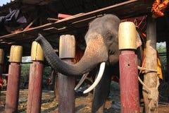 азиатские слоны Стоковое Изображение