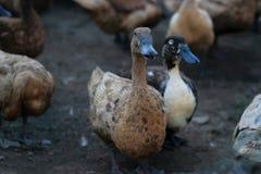 Азиатские утки на предпосылке природы Стоковое Изображение