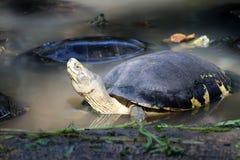 Азиатские черепахи коробки в воде это медленно продвигающийся гад стоковое изображение