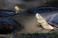 Азиатские черепахи коробки в воде это медленно продвигающийся гад стоковые изображения rf