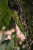 азиатские ящерицы юговосточые Стоковое фото RF