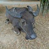 Азиатские bubalis индийского буйвола или буйвола Стоковые Изображения