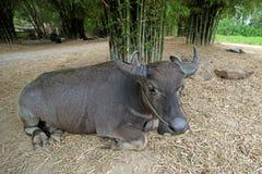Азиатские bubalis индийского буйвола или буйвола Стоковое Изображение