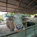 Азиатские bubalis индийского буйвола или буйвола Стоковые Фото