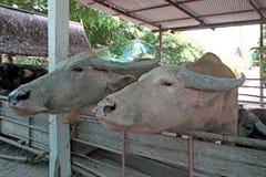 Азиатские bubalis индийского буйвола или буйвола Стоковая Фотография RF