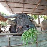 Азиатские bubalis индийского буйвола или буйвола Стоковые Фотографии RF