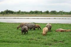 Азиатские bubalis индийского буйвола или буйвола Стоковое Изображение RF