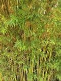 Азиатский бамбуковый лес Стоковая Фотография