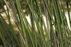 азиатский бамбук Стоковая Фотография