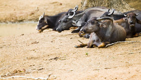 азиатский буйвол Стоковые Изображения