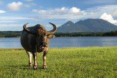 Азиатский буйвол пася Стоковые Фотографии RF