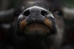 азиатский буйвол Стоковые Фото
