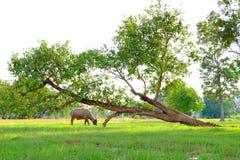 азиатский буйвол Стоковое Изображение