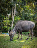 Азиатский буйвол Стоковое фото RF