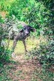 Азиатский буйвол Стоковое Изображение RF