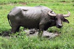 Азиатский буйвол (carabanesis bubalis буйвола) Стоковое Изображение RF