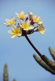 азиатский висок цветка Стоковое Изображение