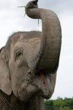 азиатский глаз слона обороны имеет головку свое подобие много видов размера портрета примечания нет относительных к Индонезия sum Стоковые Фото