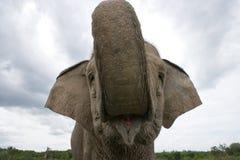 азиатский глаз слона обороны имеет головку свое подобие много видов размера портрета примечания нет относительных к Индонезия sum Стоковое Изображение